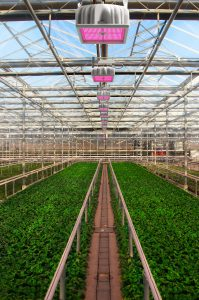 Hyperion Greenhouse Young Plants