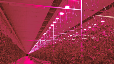 These tomatoes are in the pink at Tomato Masters' Deinze, Belgium indoor farm, under Hyperion LED grow lights from Plessey.