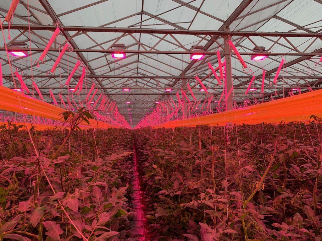 Tomato plants under LED light