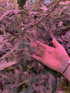Tomato leaves under LED light