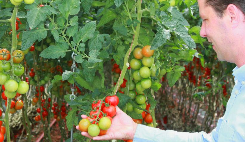 maarten-klien-tomatoes